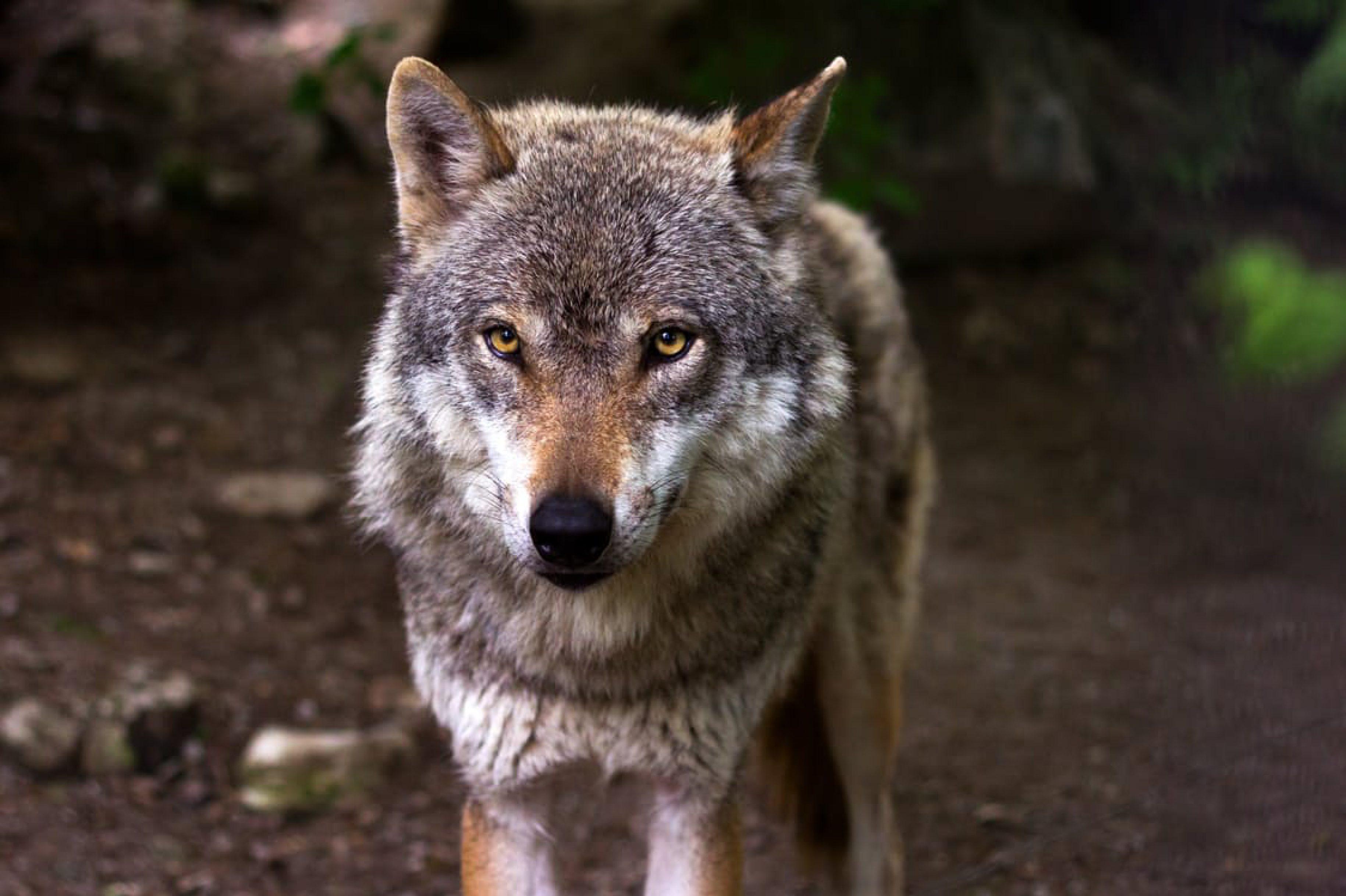 Stand Rodewalder Wolf