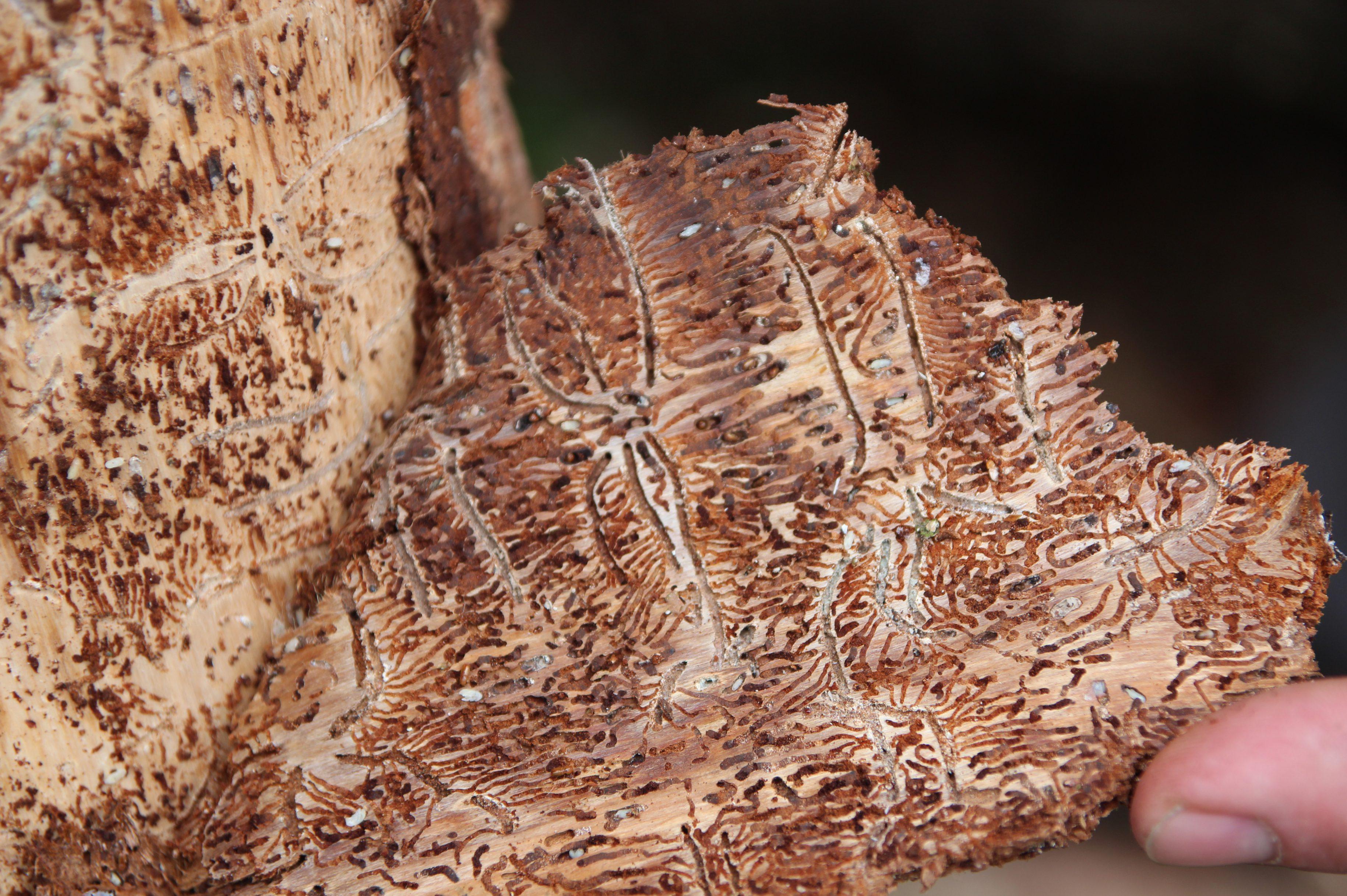 Leese: Massiver Befall von Borkenkäfern