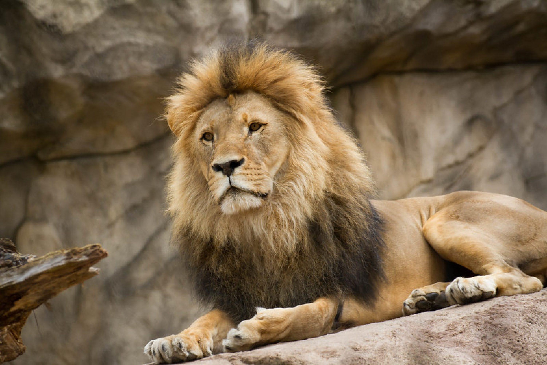 Der Löwe ist los!?